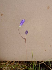 brodiaea_elegans-02