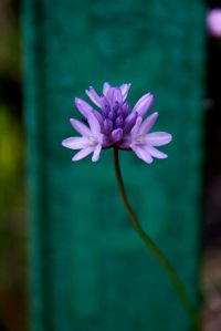 Dichelostemma has short pedicels and a twisty stalk