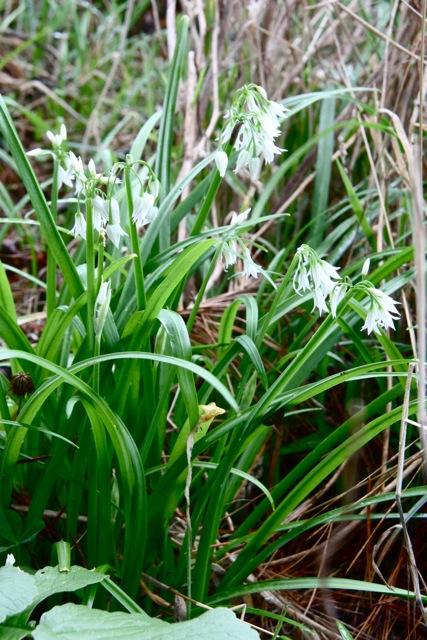 Allium_triquetrum1