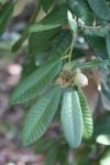 Notholithocarpus_densiflorus2