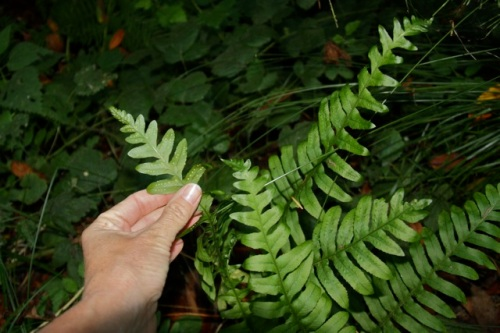 Polypodium_californicum1
