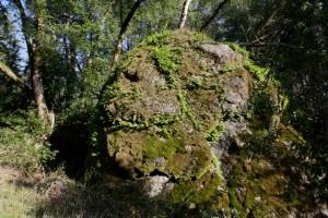 Polypodium_californicum2