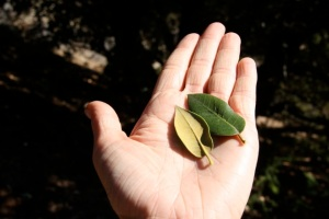 Quercus_chrysolepis1