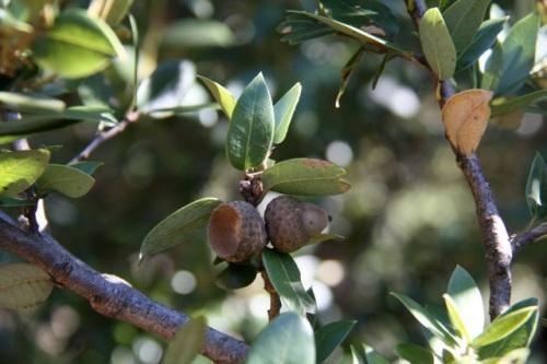 Quercus_chrysolepis2
