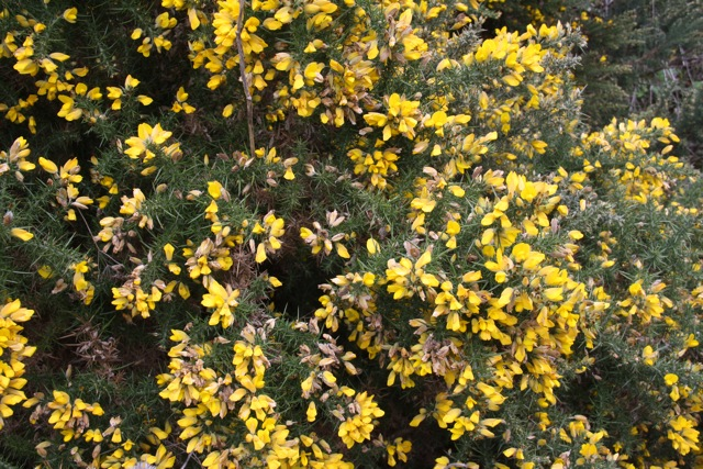 Invasive flowers of marin this is gorse ulex europaeus a nasty invasive with yellow pea like flowers and unpleasant spikes instead of leaves it was introducedperhaps mightylinksfo