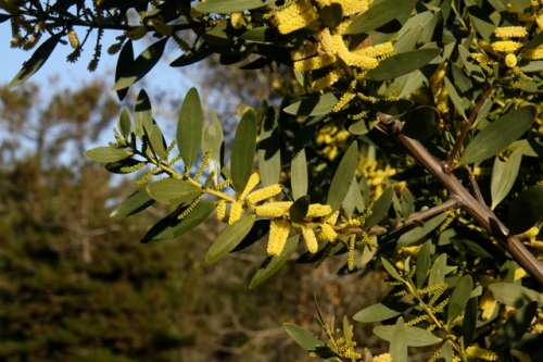 Acacia_longifolia1