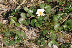 Fragaria_chiloensis1