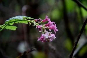 Ribes_sanguineum1