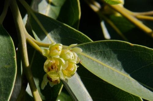 Umbellularia_californica1