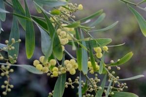 Acacia_retinoides1
