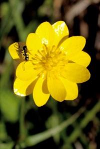 Ranunculus_californicus