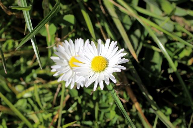 Plant of the day english daisy flowers of marin bellisperennis mightylinksfo Gallery