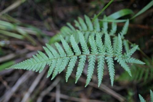 Polystichum_californicum1