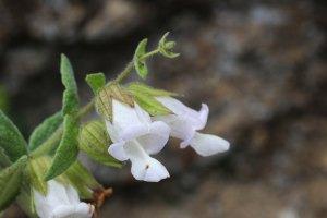 Lepechinia_calycina-2