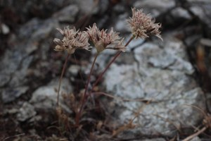 Allium_lacunosum