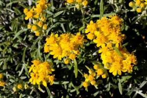 Eriophyllum_staechadifolium-2