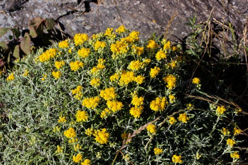 Eriophyllum_staechadifolium