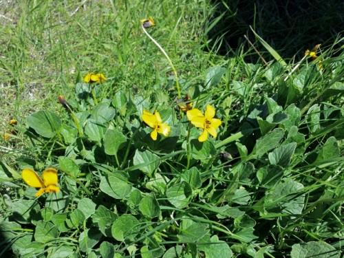 Viola_pedunculata1