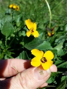 Viola_pedunculata2