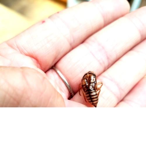 Cicadas - 2